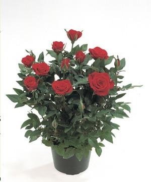 Троянда кімнатна Троянда з давніх часів і по сьогоднішній день залишається  неперевершеною царицею квітів af92fea3d88cc